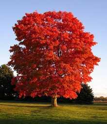 美国红枫_温州美国红枫树 夏日红枫介绍